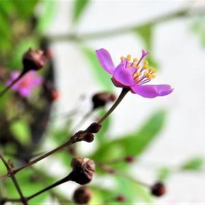ハゼラン、と     僕の好きが全部ある    千葉県市川浦安アスファルト脇植物園・自宅