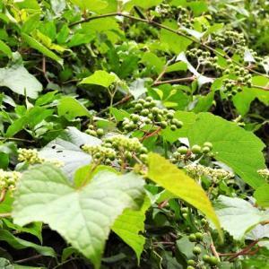 ノブドウ    イノチあふれる豊かな葉    千葉県市川市の深い森