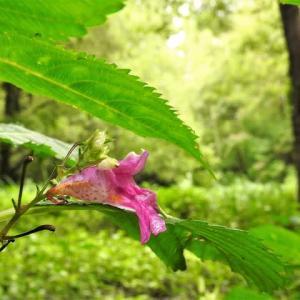 ツリフネソウと森の盆栽    草の海を、ヒカリの風に乗って渡るよう    千葉県市川市の深い森