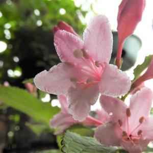 タニウツギ    遠いソラの下     千葉県市川浦安アスファルト脇植物園・自宅