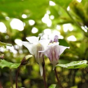 ツタバウンラン    地中海沿岸の花の森      東京都江戸川区小川の辺