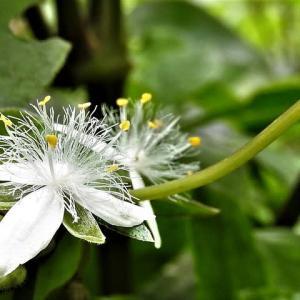 トキワツユクサ     川の香りが夏になったらマタライネン      東京都江戸川区小川の辺