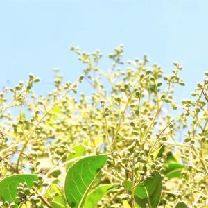 トウネズミモチ    ネズミが食べやすい、ちいさな焼きモチのような果実の樹     千葉県市川市行徳・野鳥の楽園