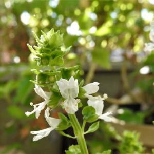 バジルとアオジソ   葉も花も生もドライも    千葉県市川浦安アスファルト脇植物園・自宅
