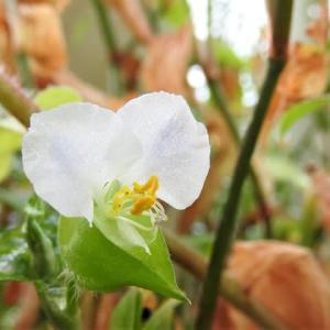 メガネツユクサ    のこり夏にさよなら    千葉県市川浦安アスファルト脇植物園・自宅