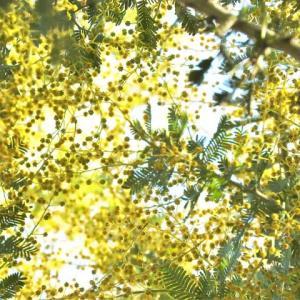 ギンヨウアカシア   真冬の白昼夢       東京都江東区都立の森