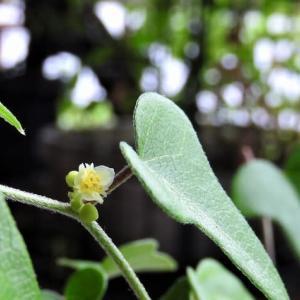 アオツヅラフジ     ひそやかな森のまたたきのように咲く    千葉県市川浦安アスファルト脇植物園・自宅