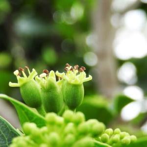 カクレミノ   観てほしいヒトにだけ気づくように咲く   東京都江戸川区小川の辺