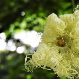 キカラスウリ    遠い夏の、母の記憶      東京都江東区恩賜の森