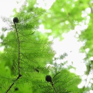 メタセコイア    生物の頂点     東京都江東区恩賜の森