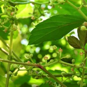 ヤブガラシ      植物の惑星     東京都江東区都立の森