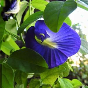 チョウマメ     熱い風、強烈なヒカリ       千葉県市川浦安アスファルト脇植物園・自宅