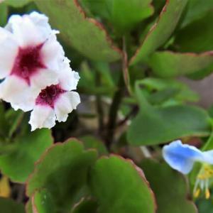 サオトメカズラ    植物たちへの感謝をことばにする、できるだけうつくしいことばで    千葉県市川浦安アスファルト脇植物園・自宅