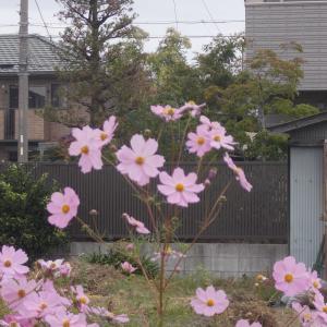 風情ある秋桜(コスモス)