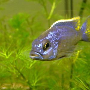 """このお魚、スキアエノクロミス・フライエリー """"アイスバーグ""""で、あってますか?"""