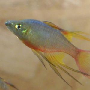 まるで天女♪ newginia-rainbow ニューギニアレインボー