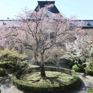 京都府庁旧本館の桜&ピエール・エルメ・パリ×mina perhonen*
