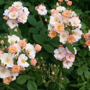 扇型に枝が広がるバラ達