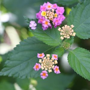 ランタナの花を生かせてみたいのに 画像アップの出来が遅いぞ