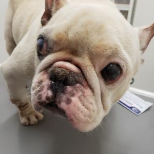繁殖リタイア犬ですが、なにか?
