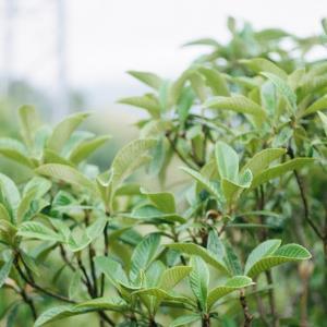 PENTAX 67と雨の日のビワの木とその葉
