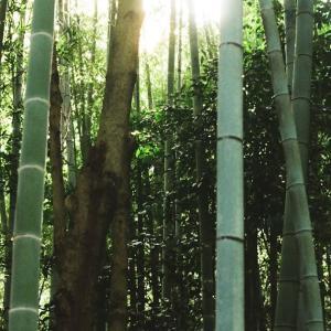 CONTAX G1と逆光の竹やぶ