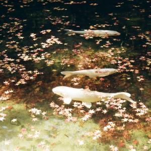 CONTAX G1と大寧寺の池の紅葉の落葉と錦鯉
