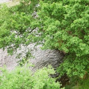 CONTAX TVSと深川川に被さる樹々