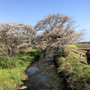 小川と桜と菜の花・・・と自撮りとw