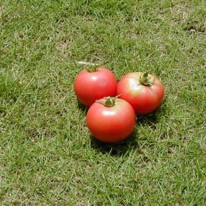 夏野菜育てたことある?