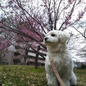 桜と寒い日