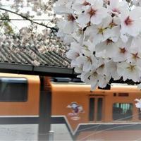 日本一の桜の名所・吉野山