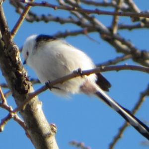シマエナガとエゾリス・冬の中島公園とよつ葉ホワイトコージ・謎の白いぐるぐる巻き丼