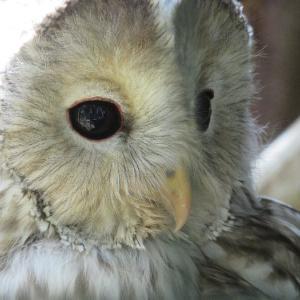 真駒内公園のエゾフクロウ カラスに追い払われたらしい・・そういや、昔フクロウ拾ったことある