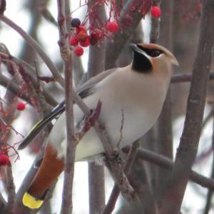 札幌で野鳥観察するなら北大が手っ取り早いわよ!キレンジャク・ヒレンジャクうじゃうじゃ。