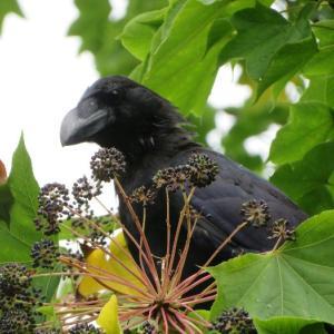 実りの秋 中島公園は野鳥のレストラン オシドリの換羽も始まったよ モテ服に着替え中!