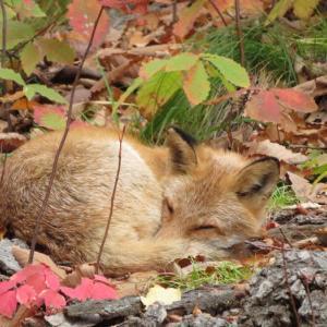 駆け抜ける秋と先走る母 落ち葉で保護色のキツネに佐藤水産のお節
