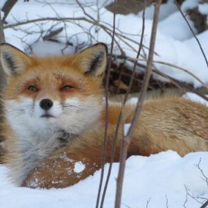 初キタキツネを見に-9℃の中飛脚ウオークで月寒公園へ行く。夕食は正月料理のリメイクで。