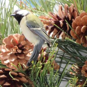 吹雪翌日は鳥さん大忙し。鳥天もセコマのベルギーチョコソフトとゆず大福買いに大忙し。