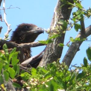 トンビのヒナちゃん、毛が生える(*´艸`)しかも2羽いた。巣立ちも近いのか羽ばたきしてた。