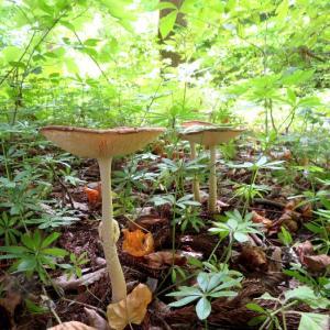 真駒内公園キノコ豊作 タマゴタケが成長する姿は本当に可愛い