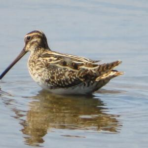 いしかり調整池で野鳥観察 水辺の鳥達のパラダイス 帰りはなみ喜の板そばでお腹いっぱい