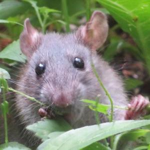 よく見るとハムスターもネズミもあんまり変わらないな。精進川のサクラマスはまだ来ない。