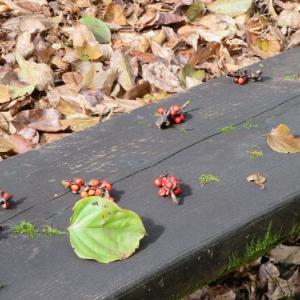 恵庭渓谷の紅葉は部分的に終わりかけ 今週末が見頃かな?
