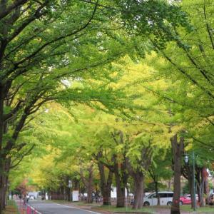 北大銀杏並木の黄葉 金葉祭は3年連続中止 エゾリスは冬毛に生え変わり中