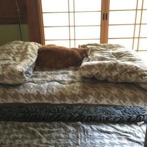 コタツ布団の上で寝るお通と、家庭菜園の仕込み