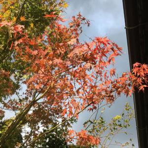 午後は雨予報の八幡浜と、我が家のモミジの色付き