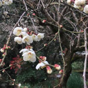 梅の花が咲き乱れる季節になりました