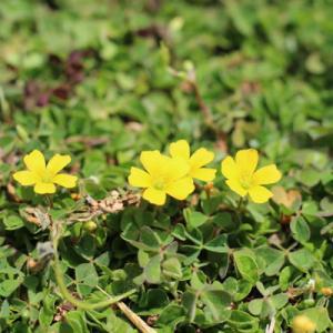 春の庭先に咲く名も知れぬ花の名前がわかりました
