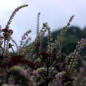 自家栽培の赤紫蘇の穂紫蘇が伸びてきました。